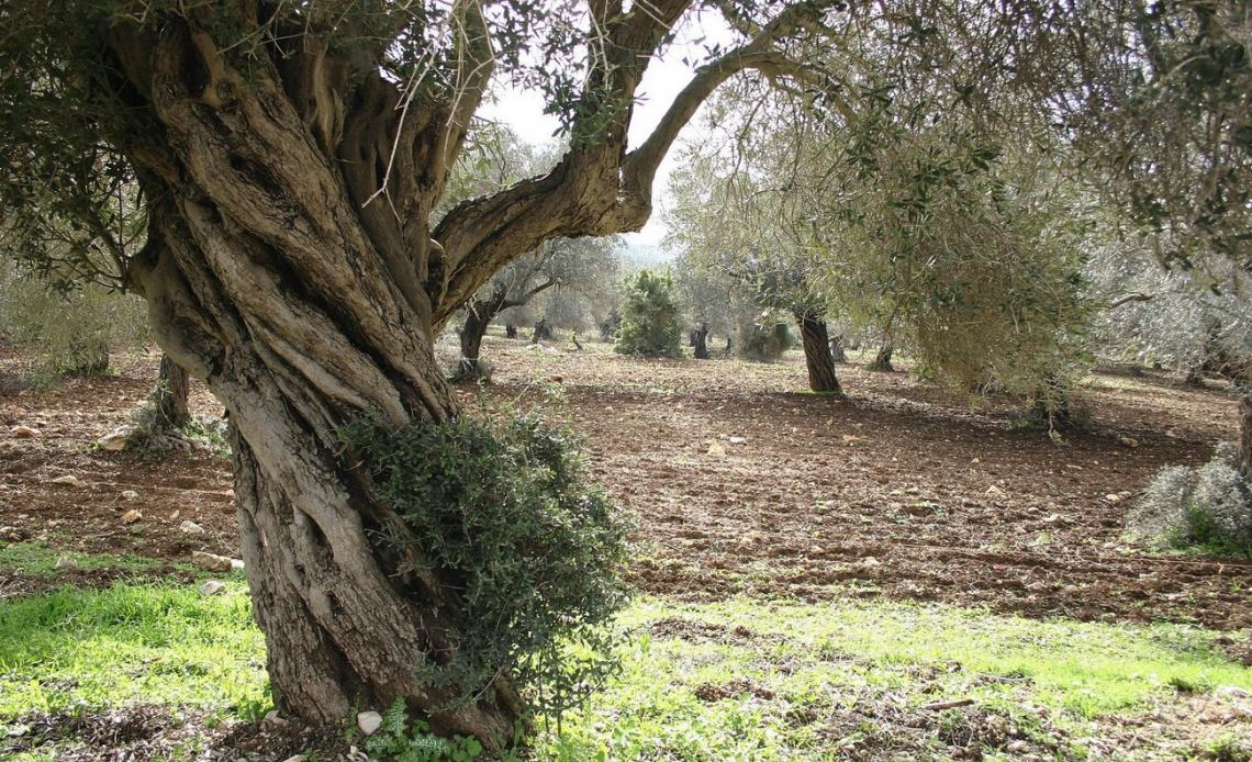 I costi nascosti dovuti alla lavorazione del terreno degli oliveti: ecco perchè con l'inerbimento si risparmia