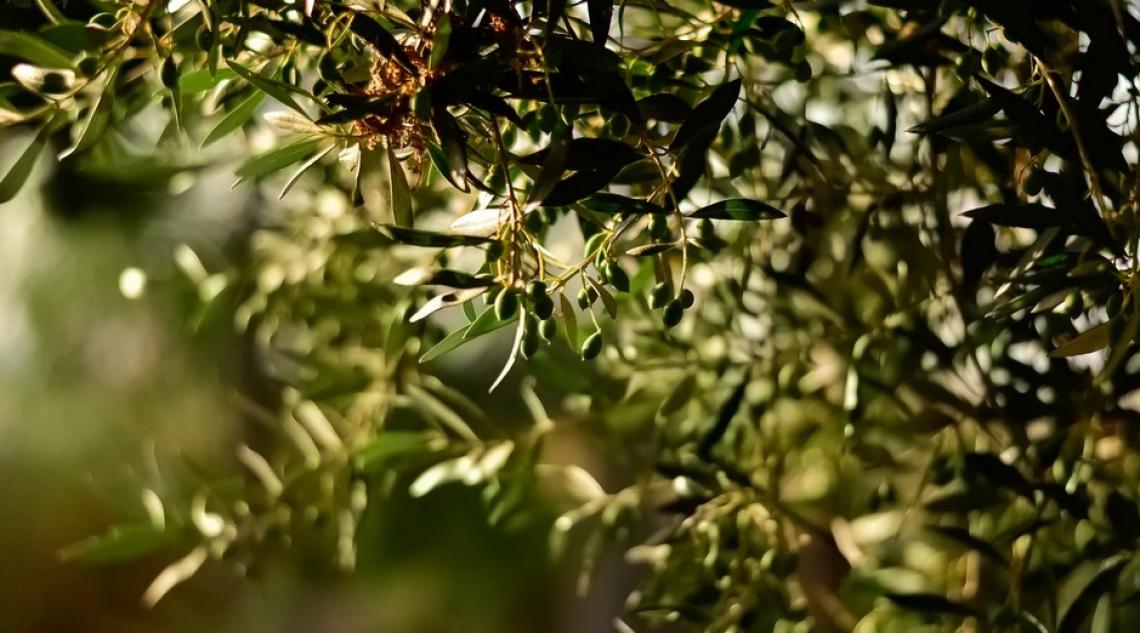 Olivicoltori e frantoiani spagnoli lavorano in perdita