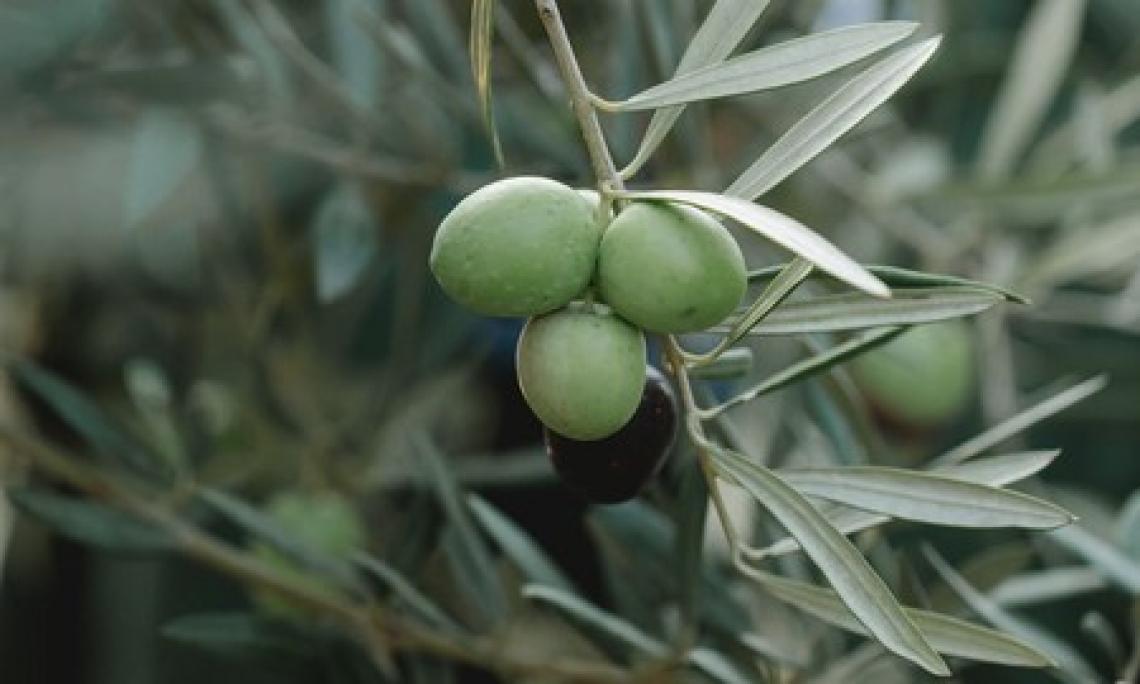 L'importanza dei trattamenti fogliari con calcio per migliorare la qualità delle olive