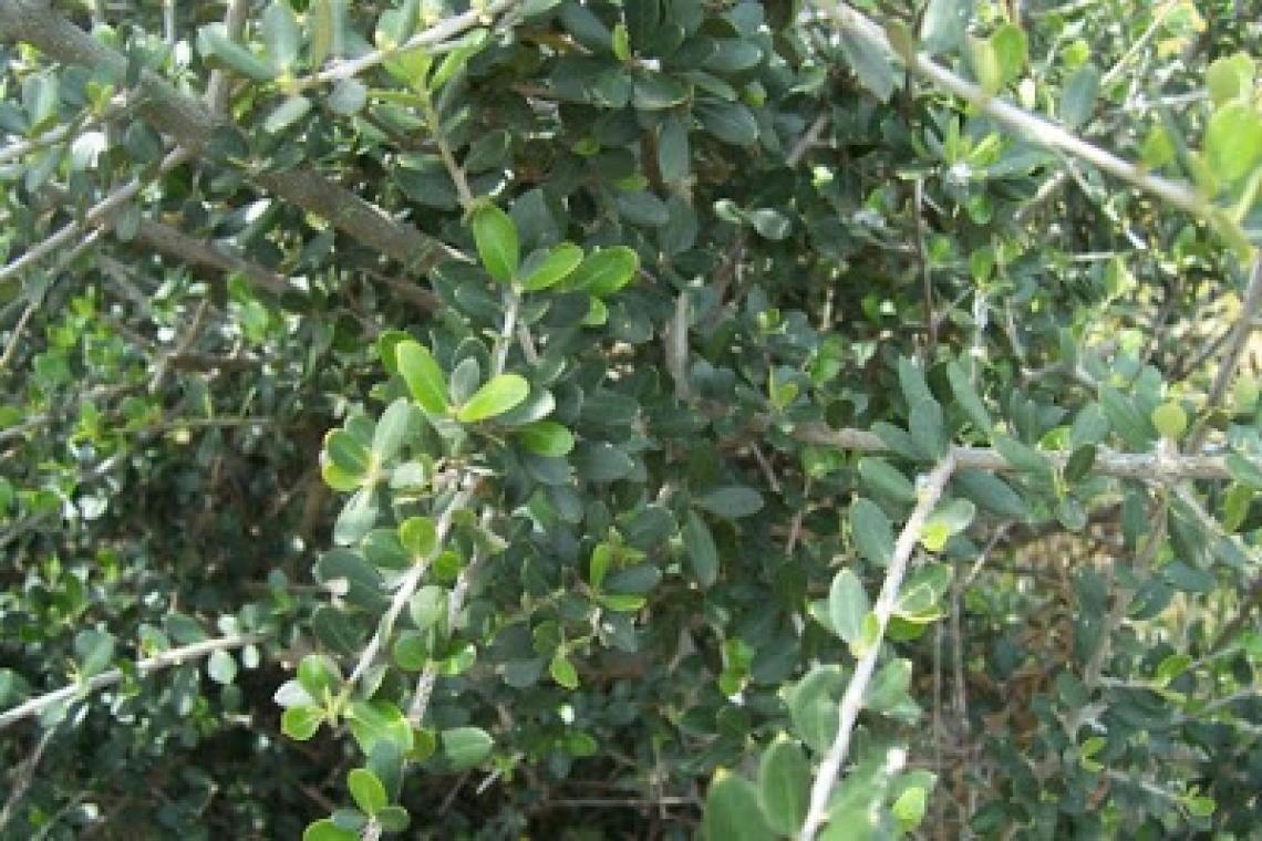 L'origine dell'addomesticazione dell'olivo: tutto inizia nel Pliocene