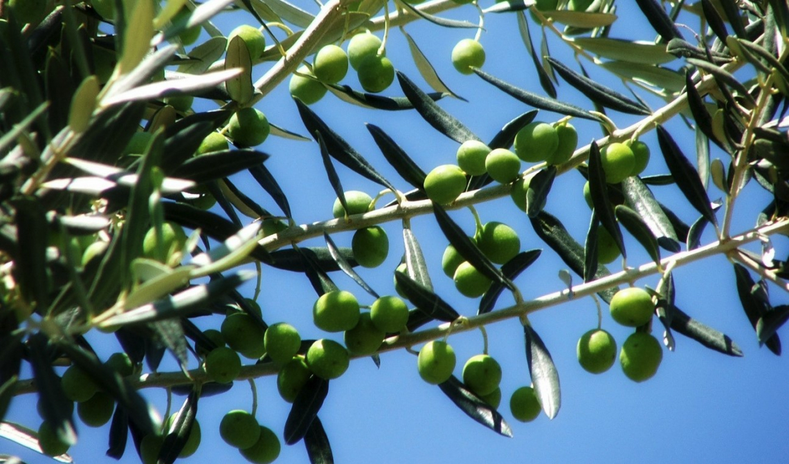 Nuovi progetti e investimenti per il comparto olivicolo d'eccellenza