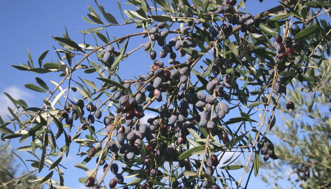 Più aggregazione per permettere all'olio d'oliva italiano di volare