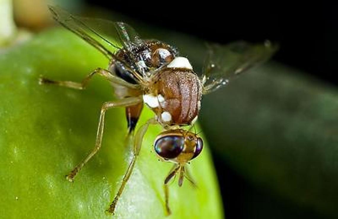 L'effetto della biodiversità vegetale sull'abbondanza, i movimenti e i danni della mosca dell'olivo