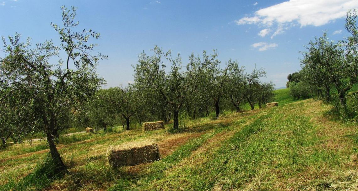 Il sequestro di carbonio in un oliveto gestito in modo sostenibile per 20 anni