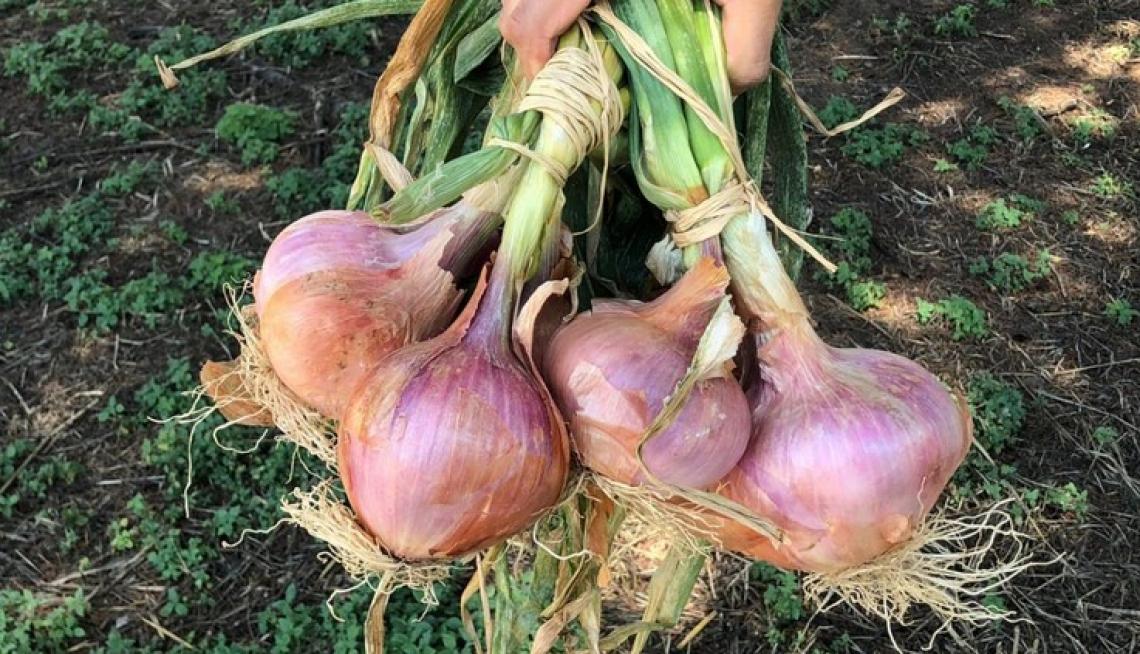 Caratterizzati i composti fenolici e organici volatili delle cipolle campane