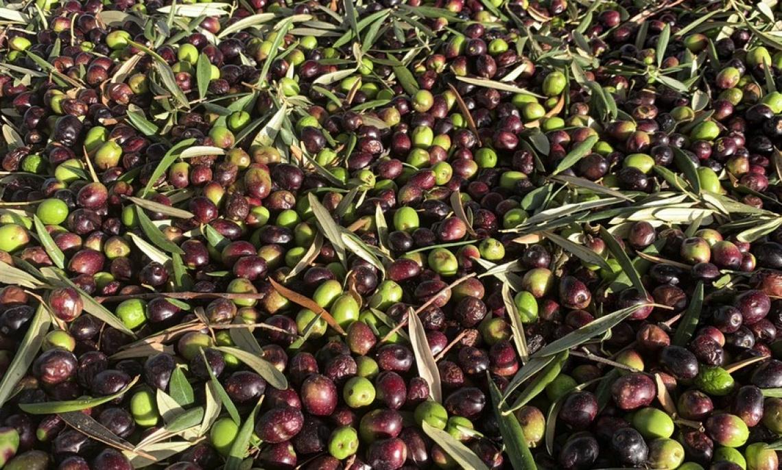 Olivo, olivicoltura, olio d'oliva. Guardando al Futuro