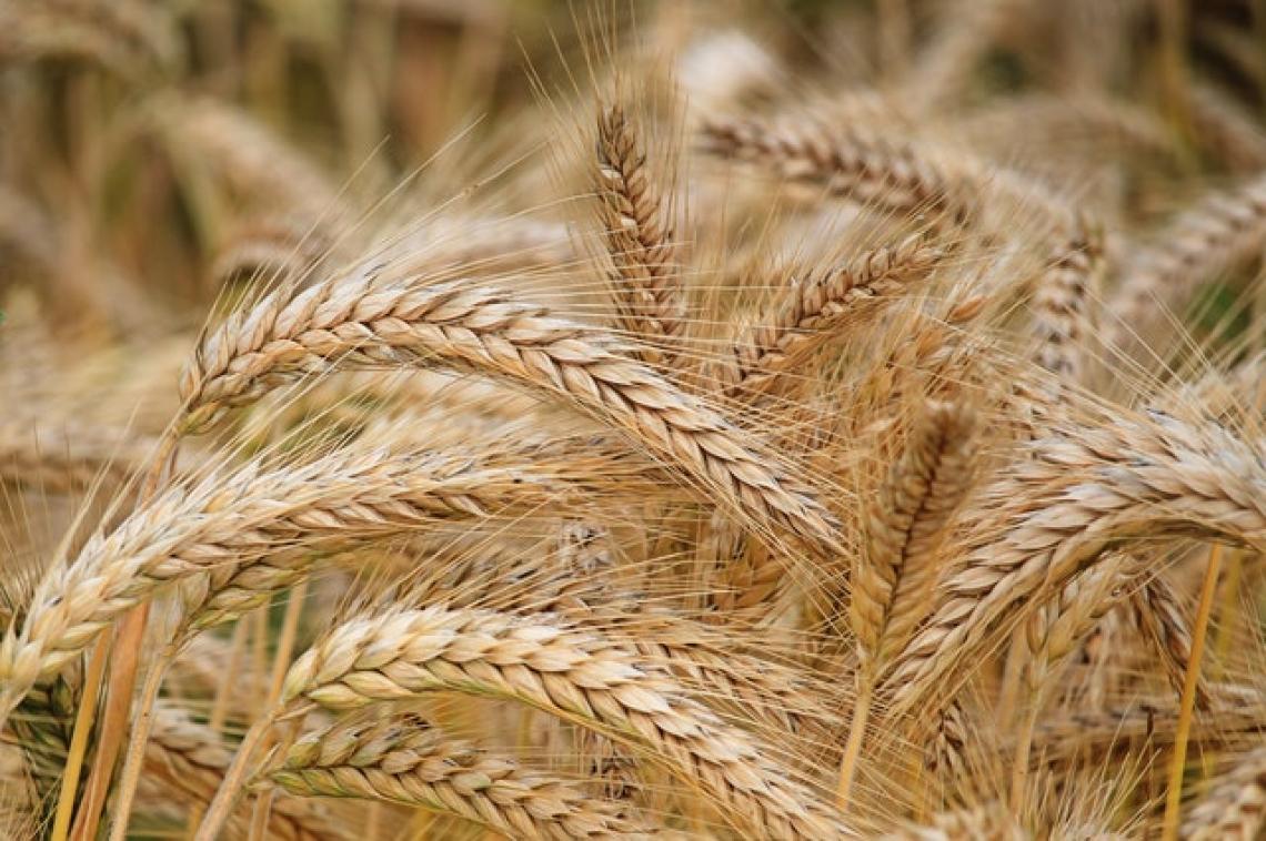 Recupera nel 2021 la produzione nazionale di grano duro