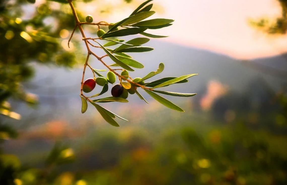 Un nuovo piano per l'olivicoltura californiana