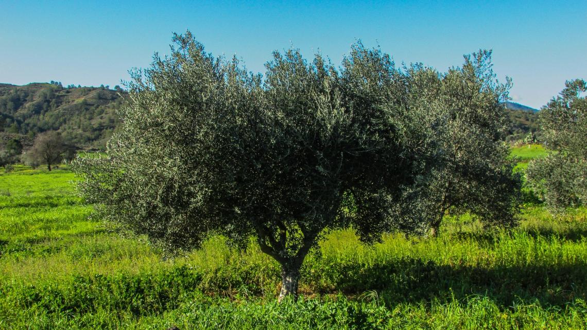 Tutte le criticità dell'inerbimento dell'oliveto in collina