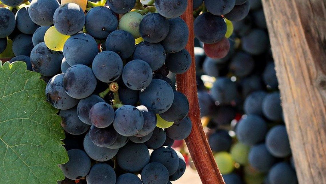 Rallentare la maturazione può migliorare la qualità dell'uva per la vinificazione