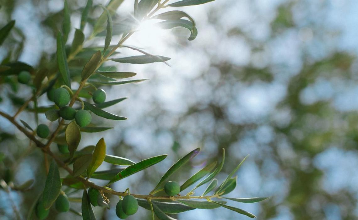 La filiera olivicolo-olearia sfida il futuro: dalla ocm al mercato