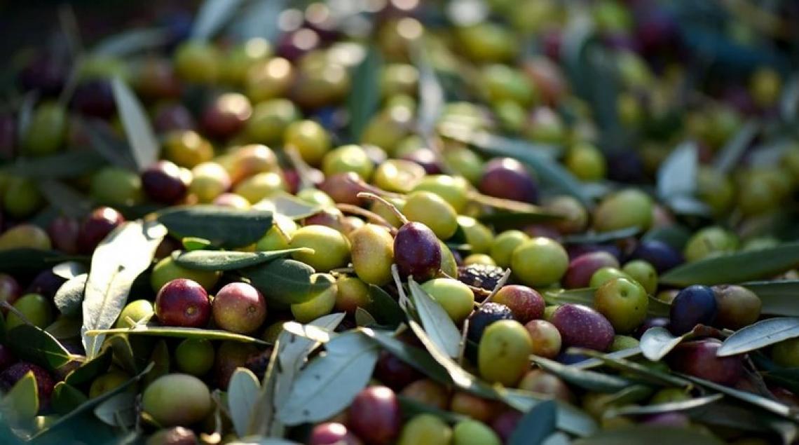 Dalle olive un farmaco capace di ridurre la mortalità da Covid19