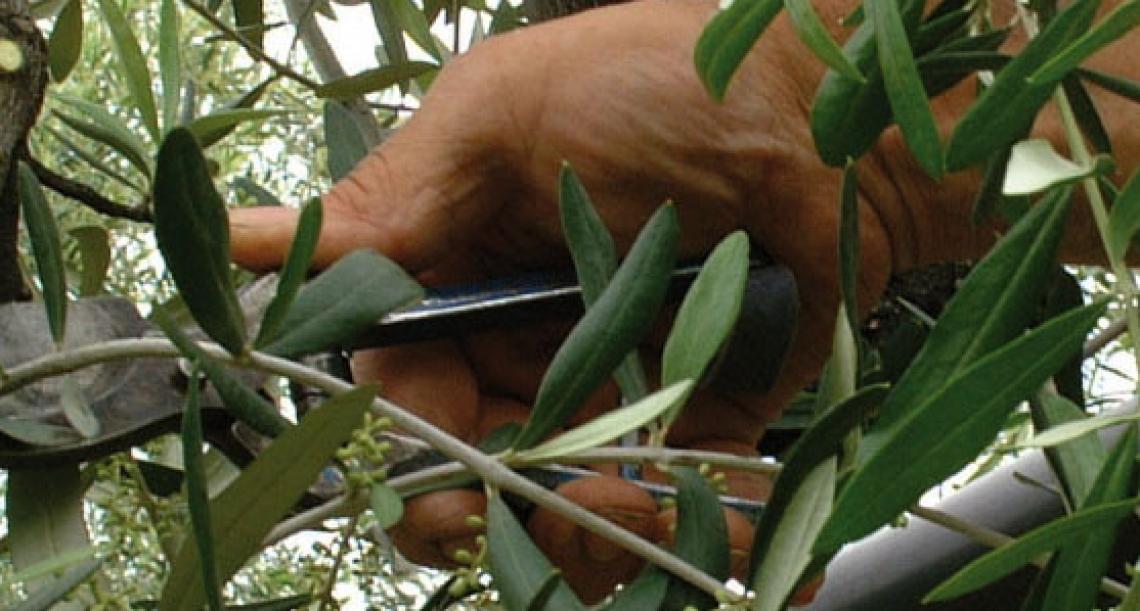 Agrodriver, una guida in campo per le imprese olivicole