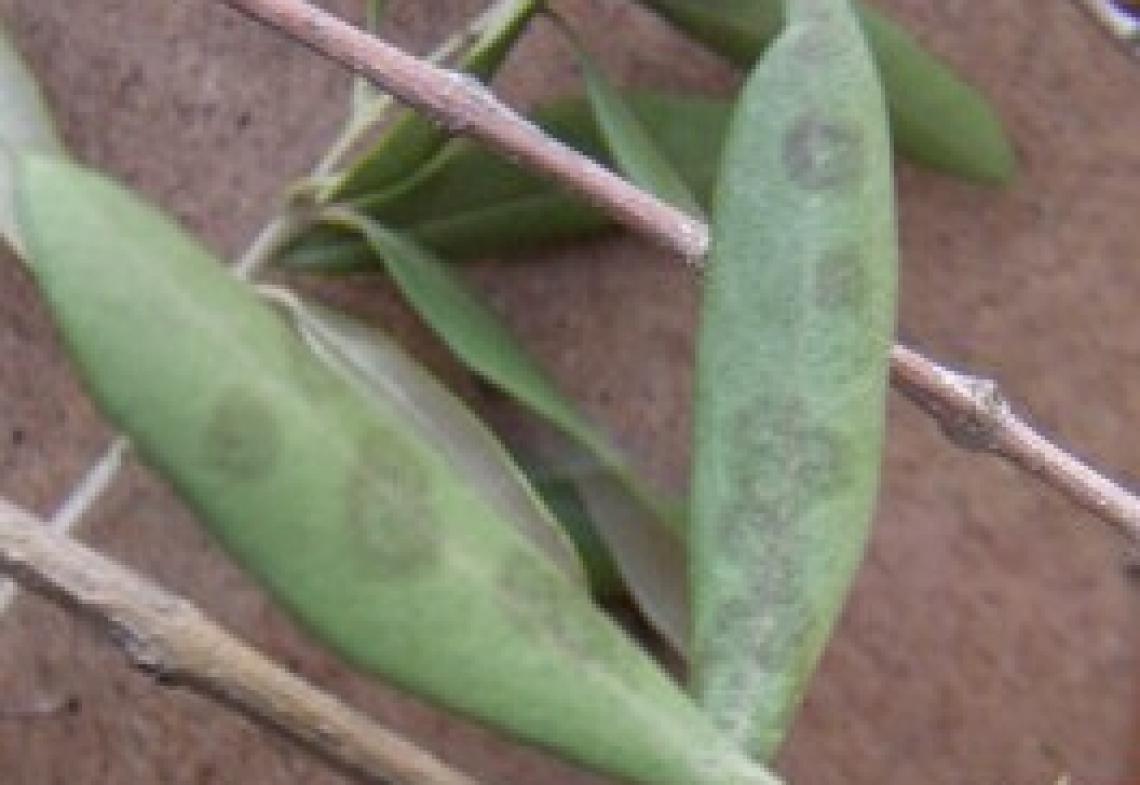 Il futuro della lotta contro occhio di pavone e lebbra dell'olivo è nelle nanoparticelle di rame