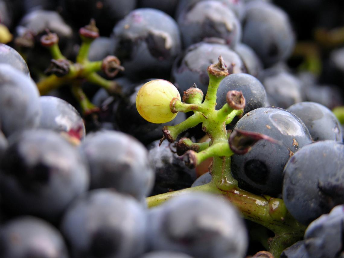 L'uva matura più velocemente: è l'invaiatura il momento chiave