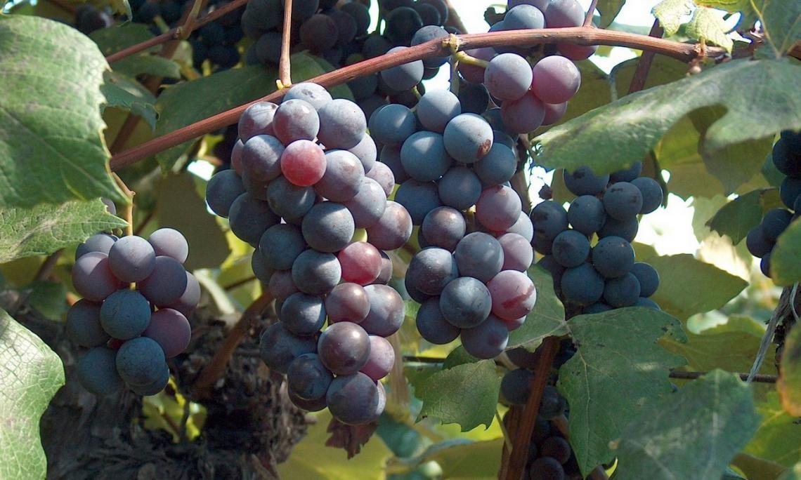I cambiamenti dei composti odorosi chiave del Cabernet Sauvignon nel corso della maturazione