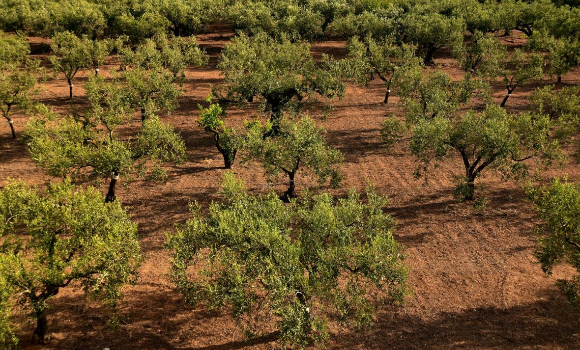 La Spagna ora pensa a valorizzare l'olivicoltura tradizionale
