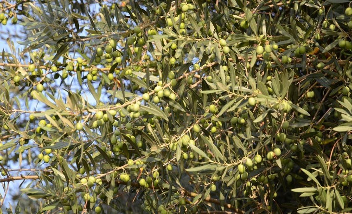 Unaprol contro Confagricoltura: tuteliamo la qualità dell'olio di oliva italiano