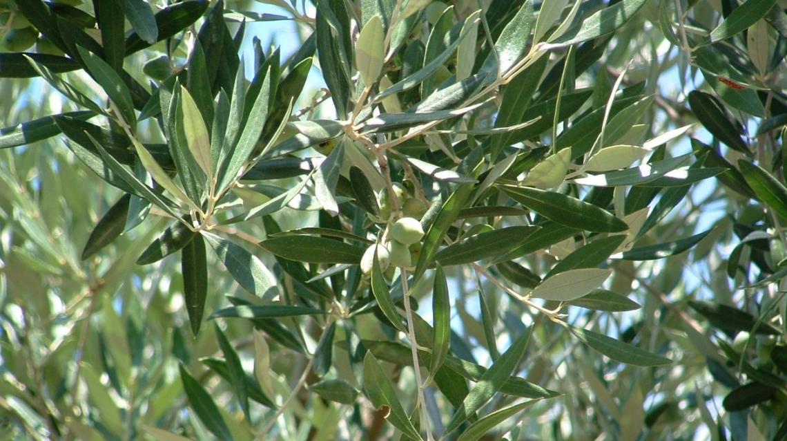 L'importanza della concimazione organica per la precoce entrata in produzione dei giovani oliveti