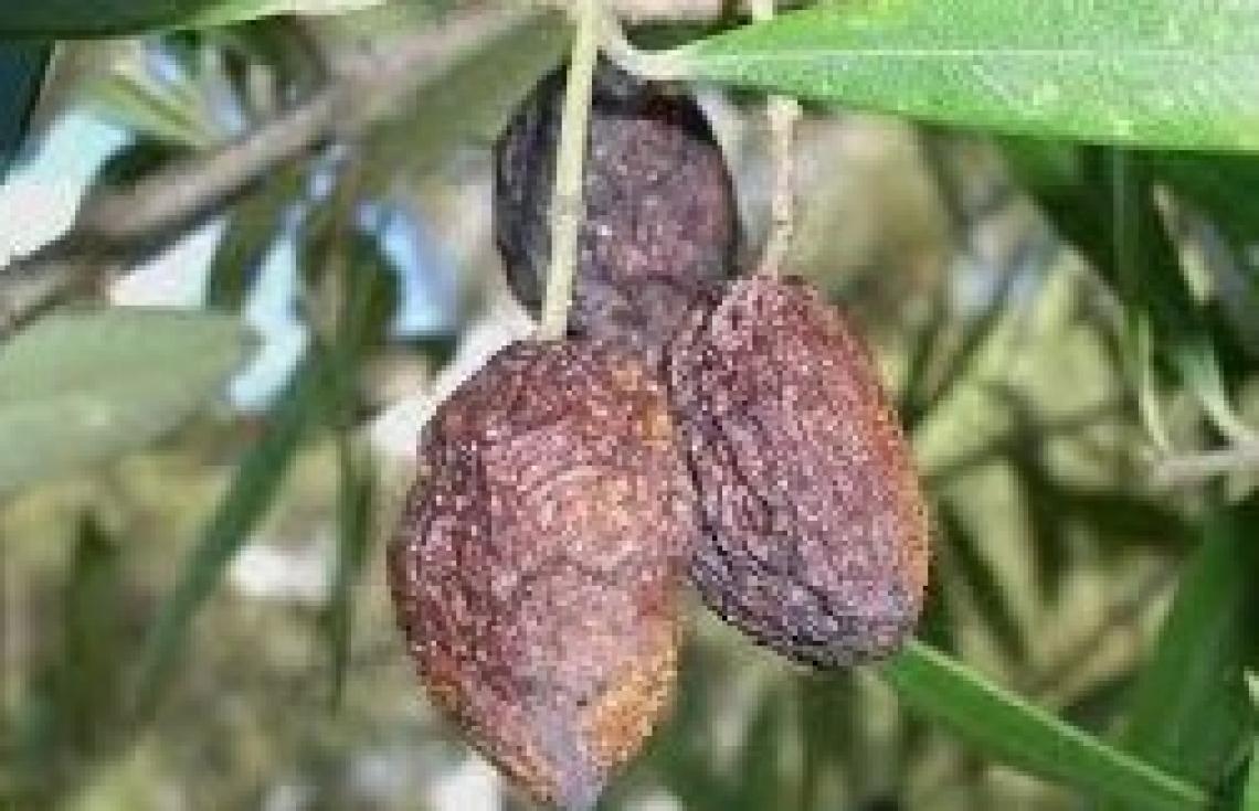 L'influenza delle condizioni meteo nell'incidenza della lebbra dell'olivo