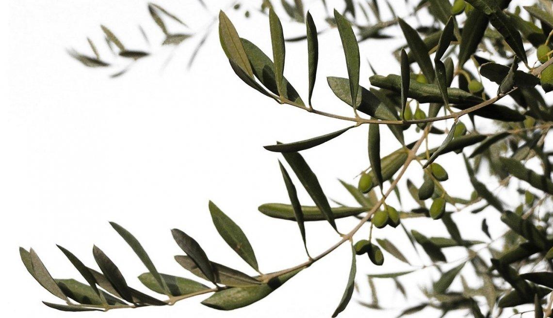 La vera necessità di concimazione azotata degli oliveti
