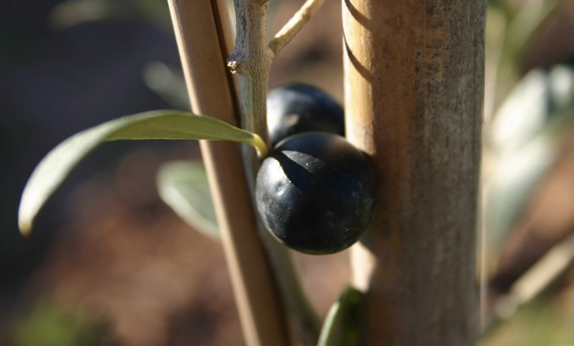 Ottimizzare il processo di raccolta per produrre un olio extra vergine di oliva premium