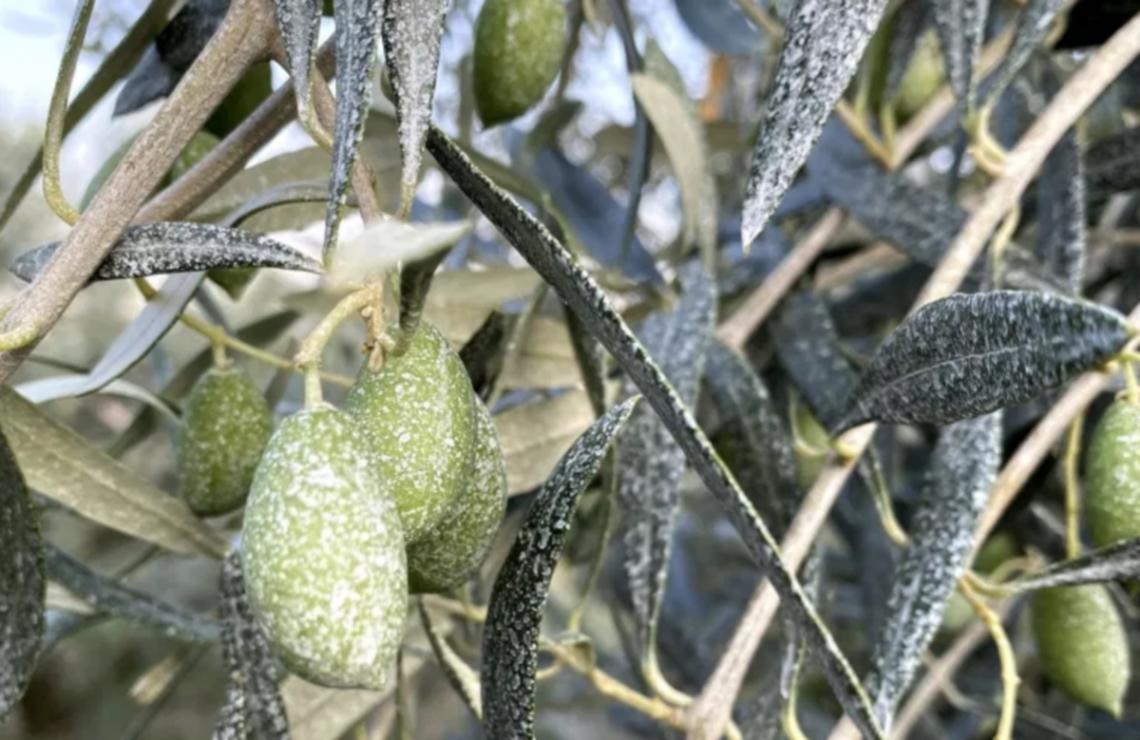 Oltre la lotta alla mosca delle olive: i benefici dell'utilizzo di caolino su produttività e resa in olio