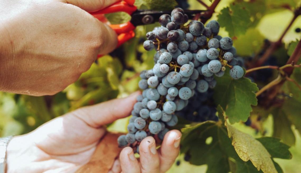 Gli ultrasuoni ad alta potenza aiutano ad aumentare l'estrazione dei composti fenolici dell'uva