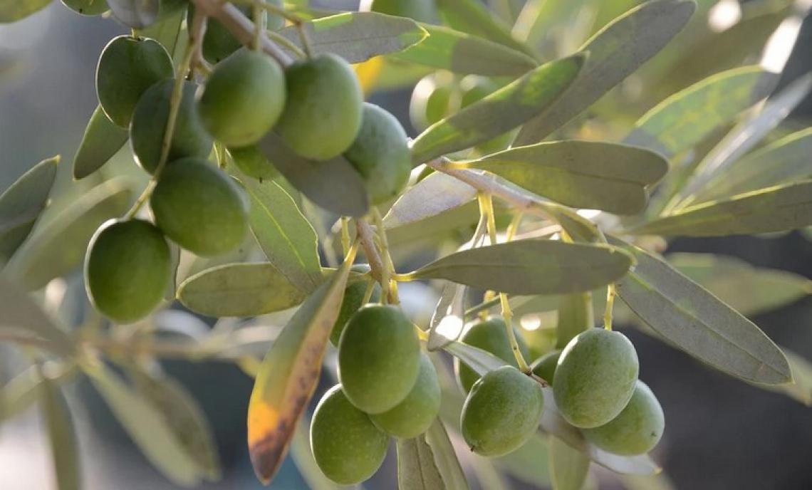 Consiglio oleicolo internazionale e Fao insieme per innovare l'olio di oliva mondiale