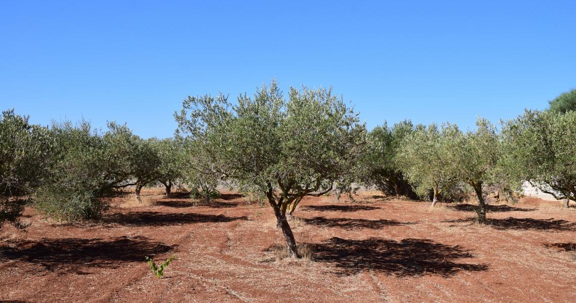 Cresce l'olivicoltura biologica in Spagna