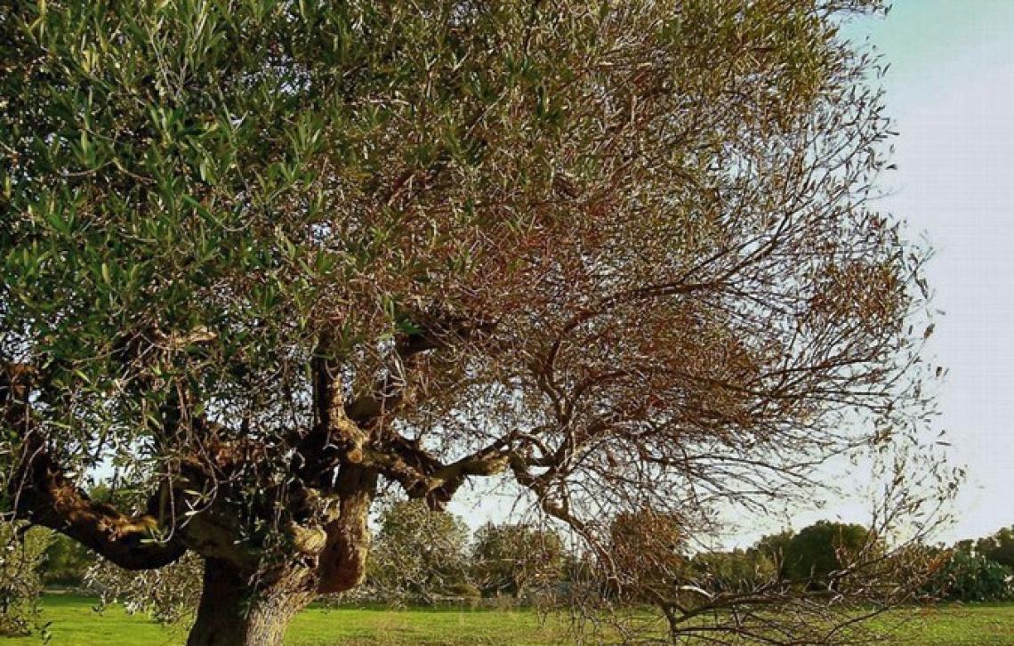 Sostegno per l'olio d'oliva nelle zone improduttive a causa di Xylella fastidiosa