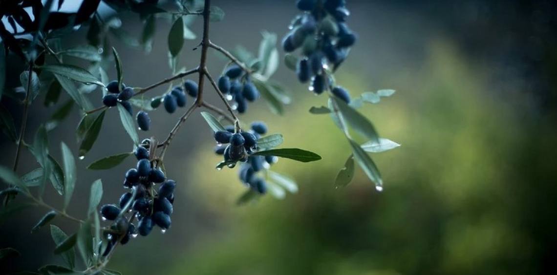 L'olio extra vergine d'oliva di collina ha un diverso profilo in acidi grassi e fenoli di un olio di pianura