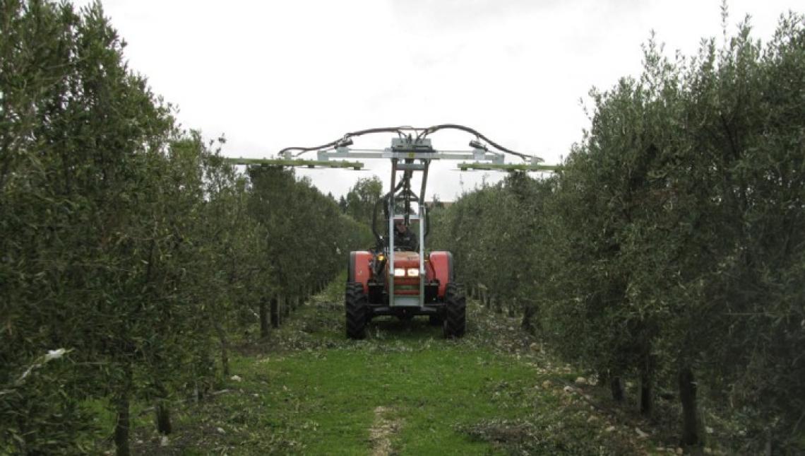 La risposta di varietà di olivo italiane e straniere in alta densità al contenimento della chioma mediante potatura meccanica e manuale