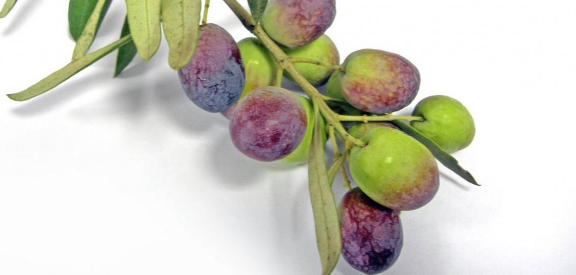 L'indice di maturità delle olive grazie a infrarosso e analisi delle immagini