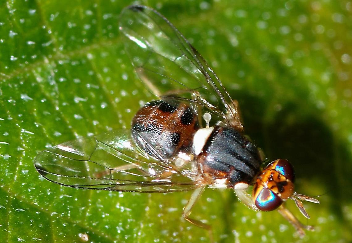 Analisi dell'efficacia dei principi attivi utilizzabili contro la mosca delle olive