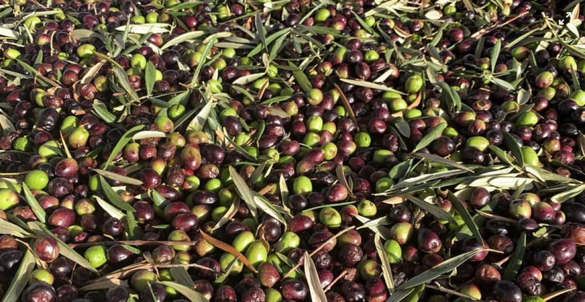 Fattori determinanti nell'accumulo di olio d'oliva per ottimizzare il tempo di raccolta in un contesto di cambiamento climatico