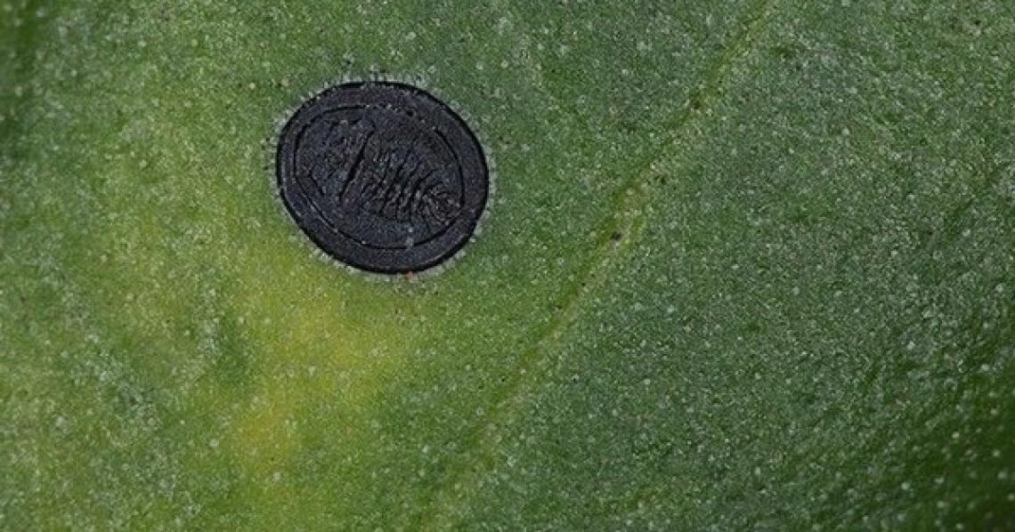 Il nascente pericolo dovuto all'Aleirode nero per gli oliveti siciliani