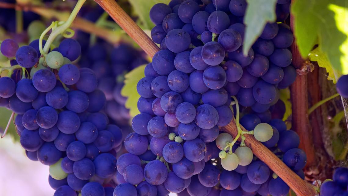 Chianti e Brunello di Montalcino ridurranno la resa massima di uva