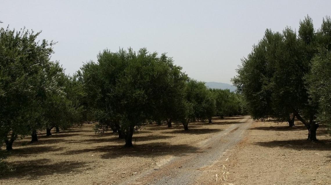 E' possibile ridurre l'utilizzo dei fitofarmaci nell'oliveto