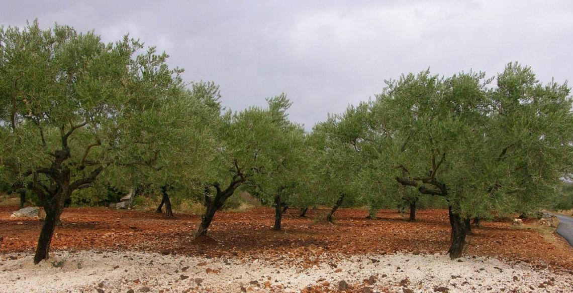 L'impatto dell'utilizzo delle acque di vegetazione sulla qualità delle olive e dell'olio extra vergine d'oliva