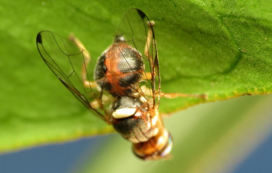 La correlazione fra popolazione di mosca delle olive e danno è affidabile, ma solo a un certo momento della stagione
