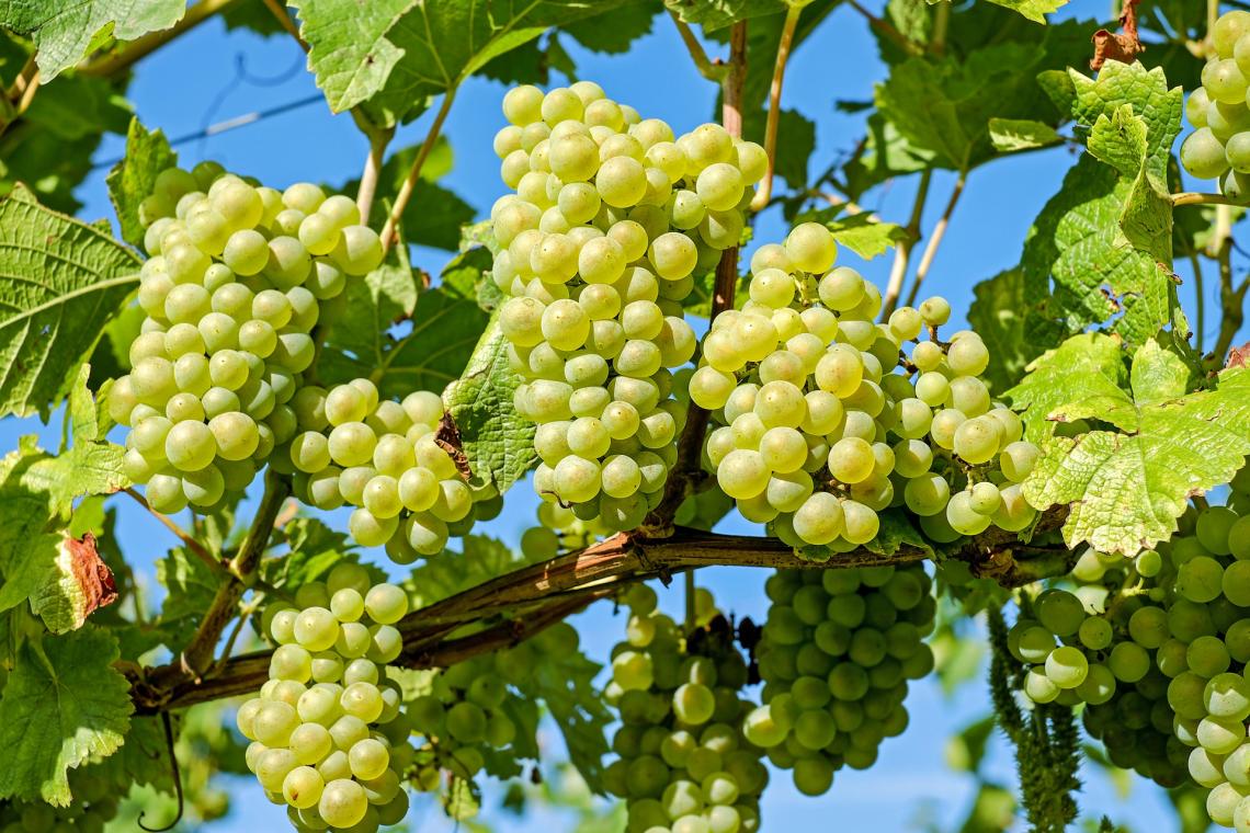 Effetto dell'aerazione sulla composizione volatile nei vini Chardonnay non inoculati con ceppi commerciali di S. cerevisiae