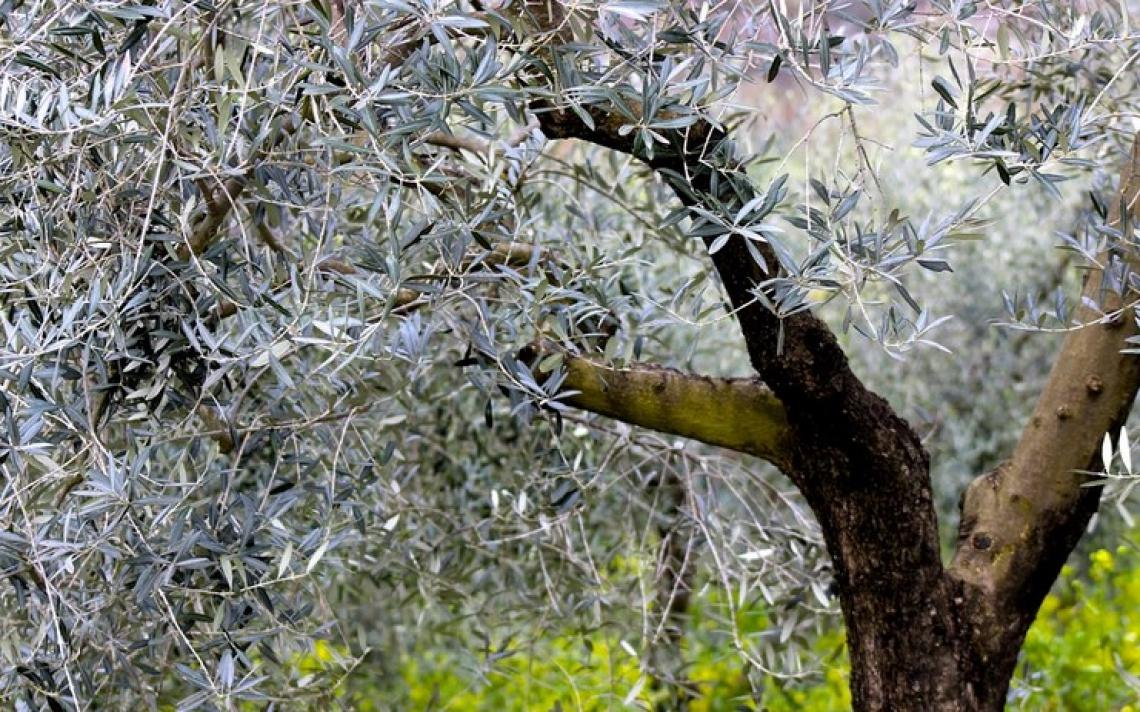 Caratterizzate 47 accessioni di olivo del germoplasma autoctono siciliano
