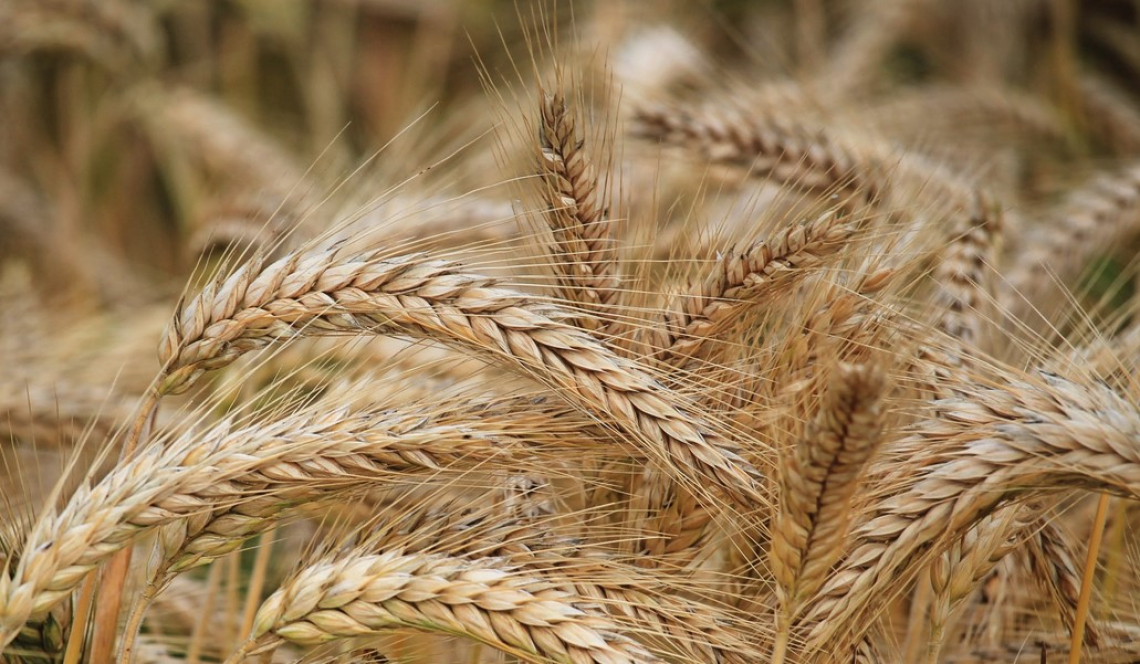 Un primo bilancio sulla campagna cerealicola 2021 in Maremma
