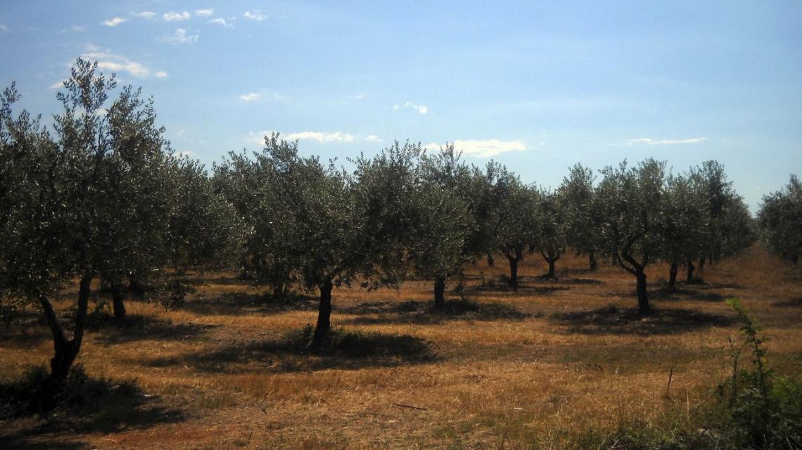 Comprendere lo stato di salute degli oliveti dal satellite