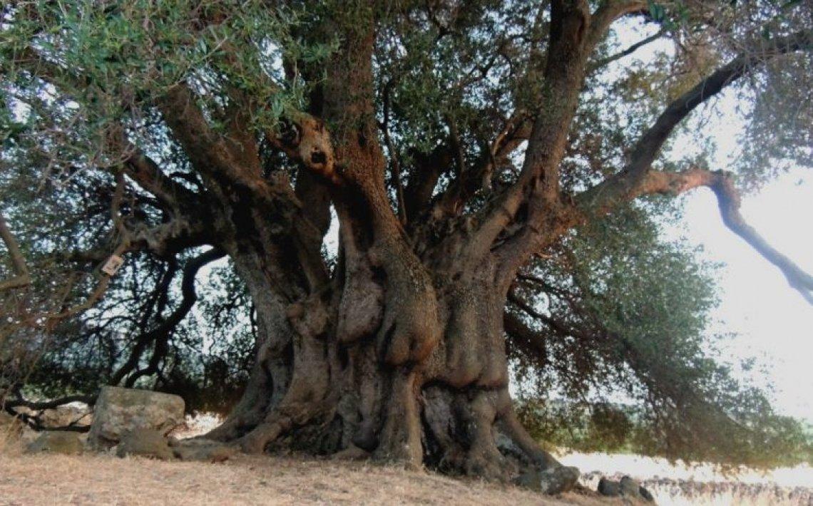 Bruciato Sa Tanca Manna, l'olivo millenario di Cuglieri
