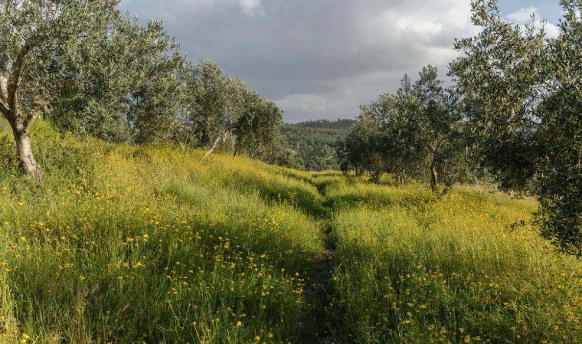L'utilità del biodigestato per la gestione degli oliveti non lavorati