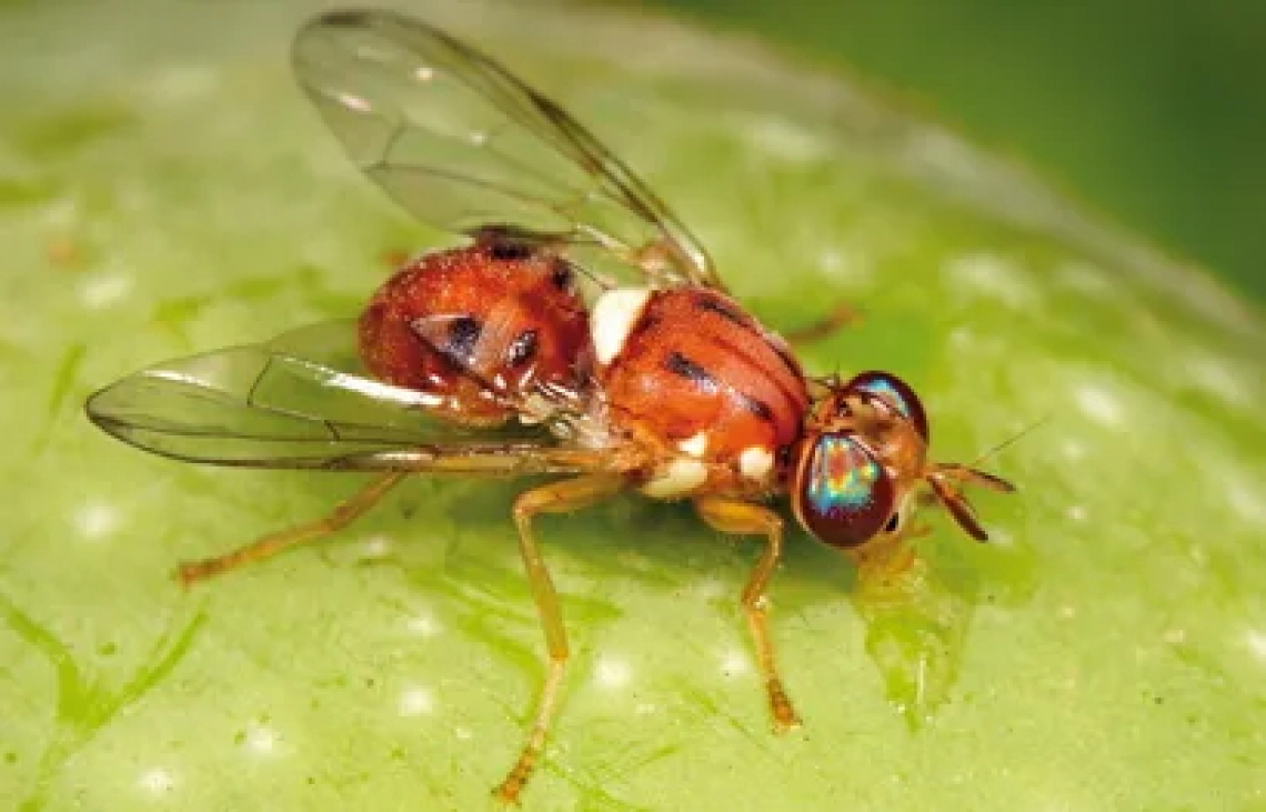 Ecco perchè rame e antibatterici sono efficaci contro la mosca delle olive