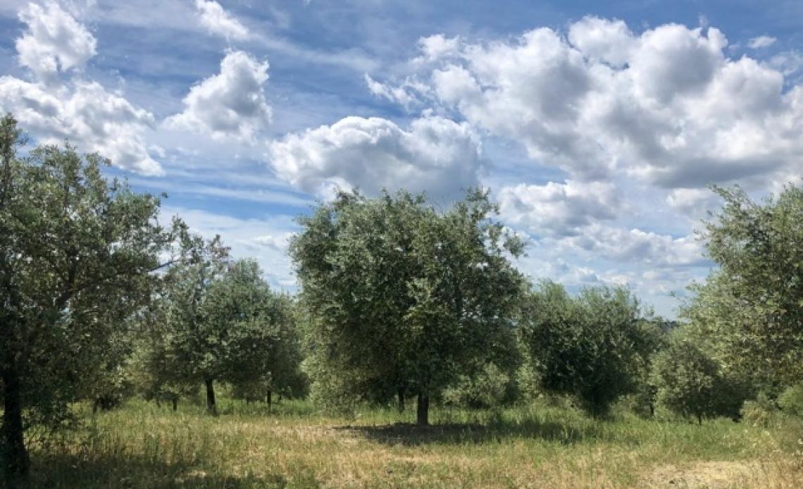 Far rivivere gli oliveti abbandonati è possibile ma serve un progetto