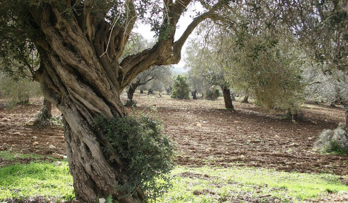 Le nuove varietà di olivo nel Catalogo Mondiale del Coi